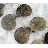 natural Ammonite Fossil beads, approx 15-35mm, 16 inches